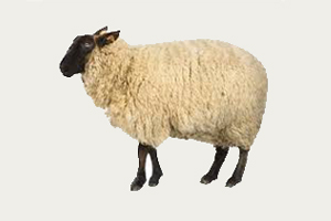 SHEEP/GOAT SLAUGHTERHOUSE